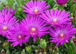 Delosperma sutherlandii